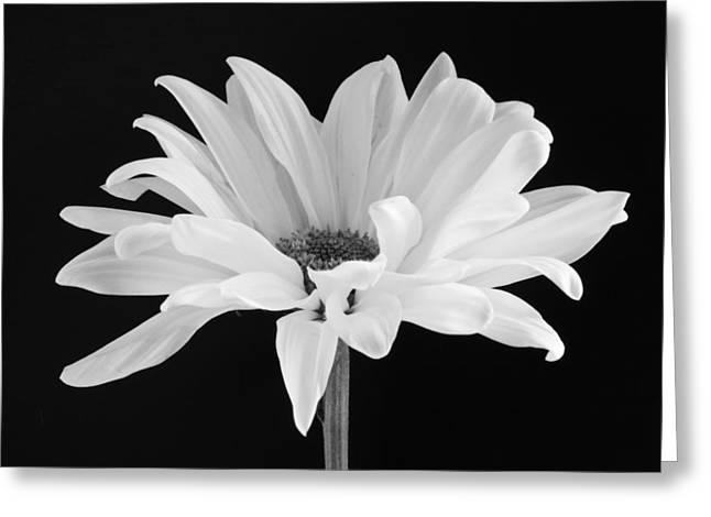 Black Greeting Cards - Lone Daisy Greeting Card by Harry H Hicklin