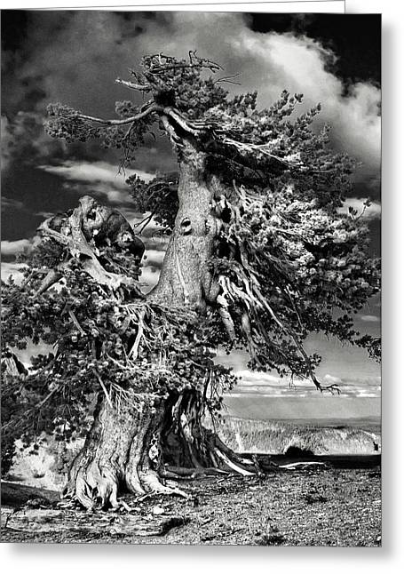 Dignity Greeting Cards - Lone gnarled old Bristlecone Pines at Crater Lake - Oregon Greeting Card by Christine Till