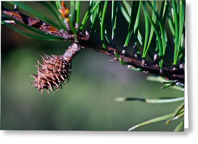 Pine Cones Greeting Cards - Lone Pine Cone 1 Greeting Card by Douglas Barnett