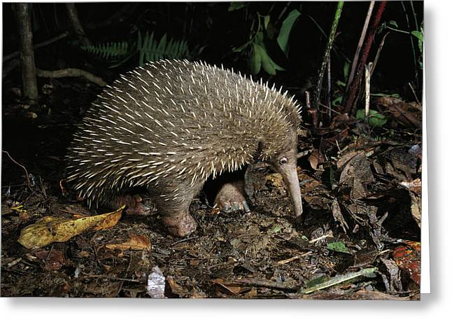 Long Nose Greeting Cards - Long-beaked Echidna Zaglossus Bruijni Greeting Card by D. Parer & E. Parer-Cook