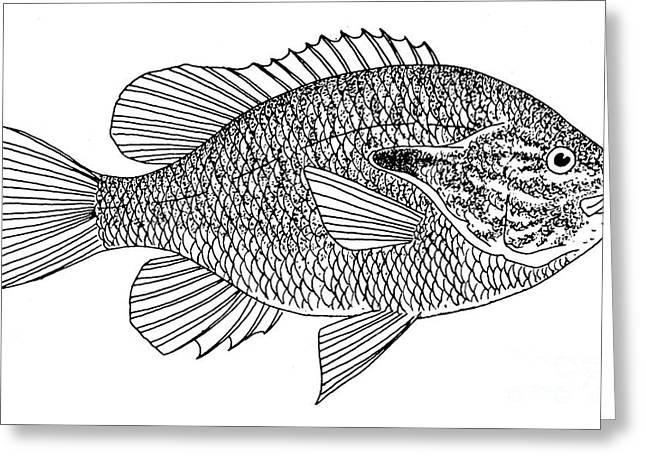 Aquatic Greeting Cards - Long-eared Sunfish Greeting Card by Granger