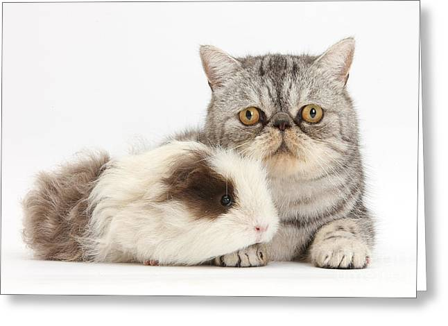 House Pet Greeting Cards - Long-haired Guinea Pig And Silver Tabby Greeting Card by Mark Taylor