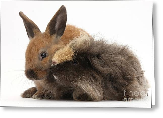 House Pet Greeting Cards - Long-haired Guinea Pig And Young Rabbit Greeting Card by Mark Taylor