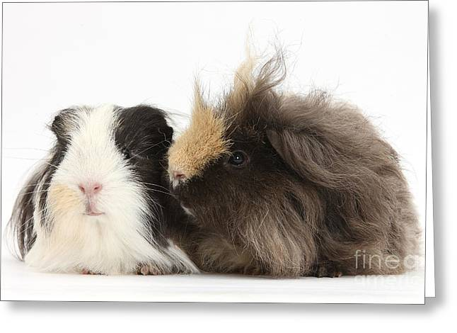 Cavy Greeting Cards - Long-haired Guinea Pigs Greeting Card by Mark Taylor
