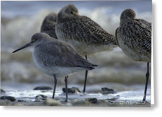Shorebirds Greeting Cards - Long Leg Shorebirds Greeting Card by Bob Christopher