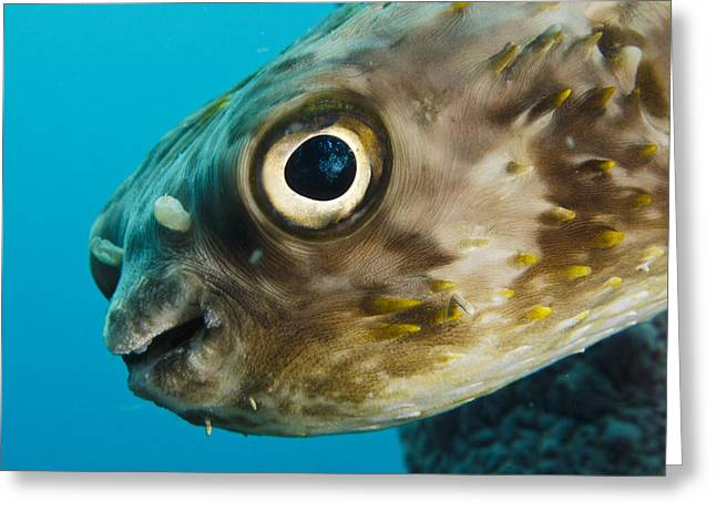 Balloonfish Greeting Cards - Long-spine Porcupinefish Diodon Greeting Card by Pete Oxford