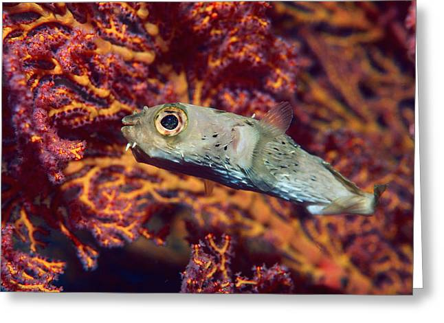 Balloonfish Greeting Cards - Long-spine Porcupinefish Greeting Card by Georgette Douwma