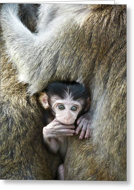 Long Tail Greeting Cards - Long-tailed Macaque Baby Greeting Card by Chris Hellier