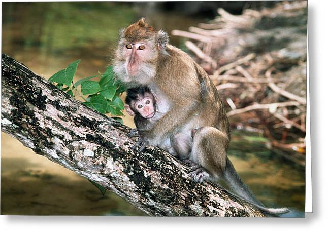 Parental Care Greeting Cards - Long-tailed Macaque Mother And Baby Greeting Card by Georgette Douwma