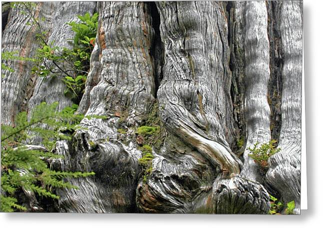 Long Views - Giant Western Red Cedar Olympic National Park WA Greeting Card by Christine Till
