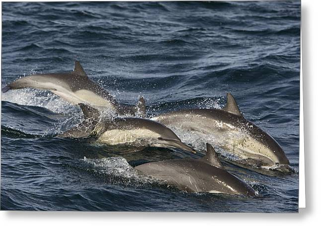 Side Saddle Greeting Cards - Longbeaked Common Dolphins Porpoising Greeting Card by Suzi Eszterhas