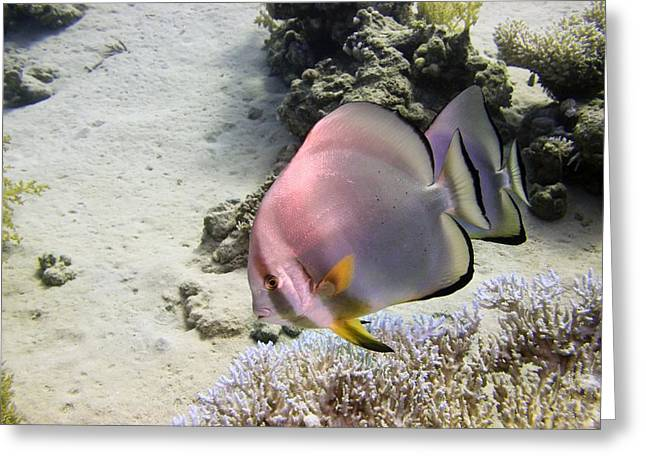 Spadefish Greeting Cards - Longfin Batfish Greeting Card by Dimitris Neroulias