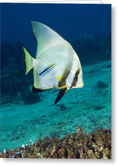 Batfish Greeting Cards - Longfin Batfish Greeting Card by Matthew Oldfield