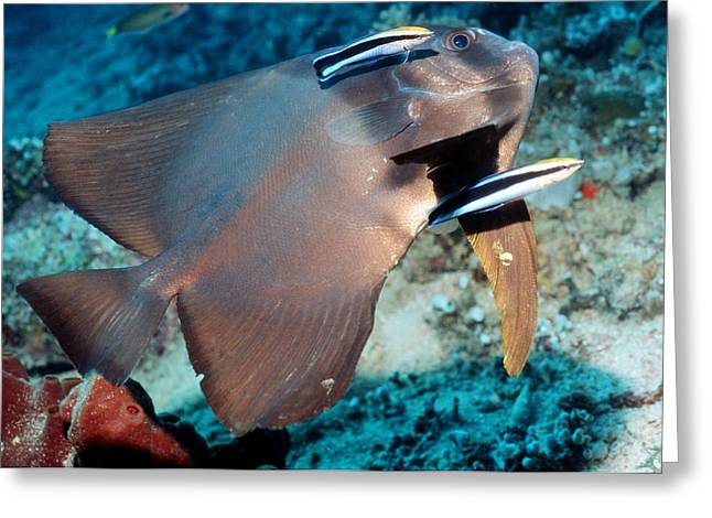 Spadefish Greeting Cards - Longfin Spadefish Greeting Card by Georgette Douwma