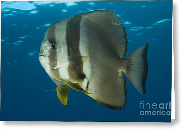 New Britain Greeting Cards - Longfin Spadefish, Papua New Guinea Greeting Card by Steve Jones
