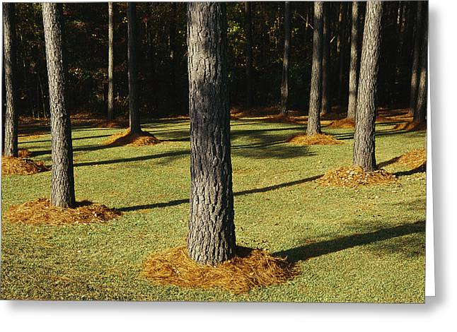 Long Leaves Greeting Cards - Longleaf Pine Trees Mulched With Pine Greeting Card by Raymond Gehman