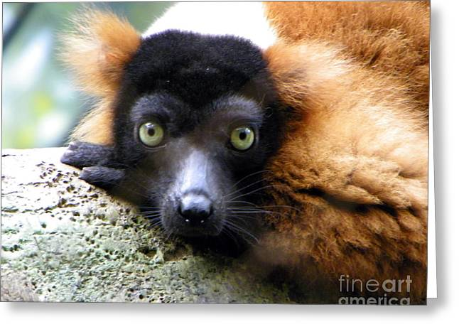 Red-ruffed Lemur Greeting Cards - Looking at You Kid Greeting Card by Anne Ferguson