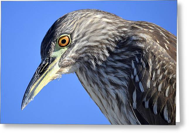 Crowned Heron Greeting Cards - Looking Downward Greeting Card by Fraida Gutovich
