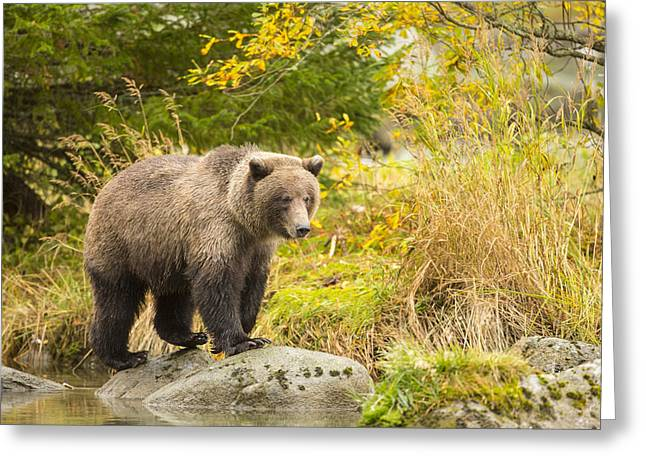 Southeast Alaska Greeting Cards - Looking for a Meal in the Autumn Greeting Card by Tim Grams