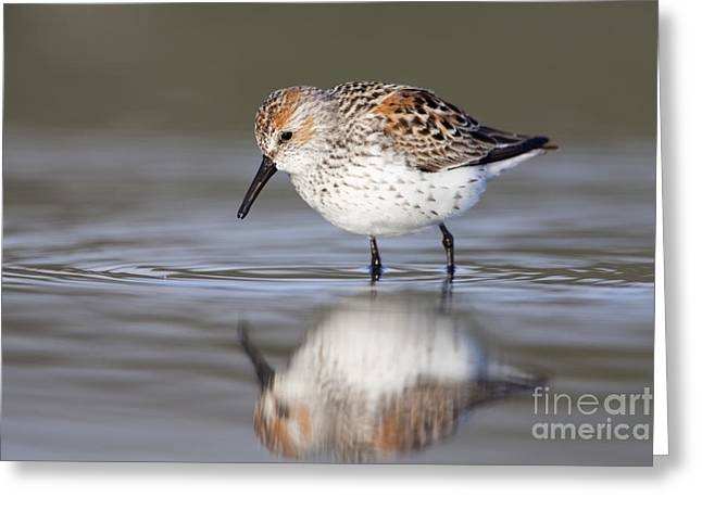 Shorebird Greeting Cards - Looking for Breakfast Greeting Card by Tim Grams