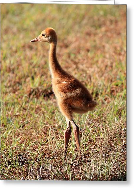 Sandhill Crane Chicks Greeting Cards - Looking to the Future Greeting Card by Carol Groenen
