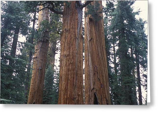 Looking Up At 3 Giant Sequoia Trees Greeting Card by Stephen Sharnoff