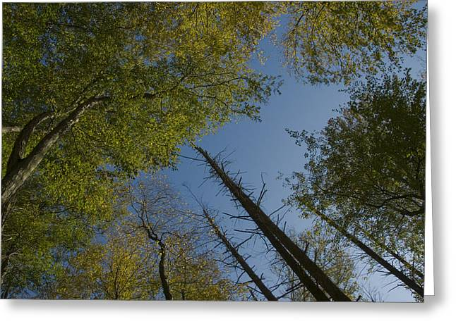East Haddam Connecticut Greeting Cards - Looking Up At Trees Disappearing Greeting Card by Todd Gipstein
