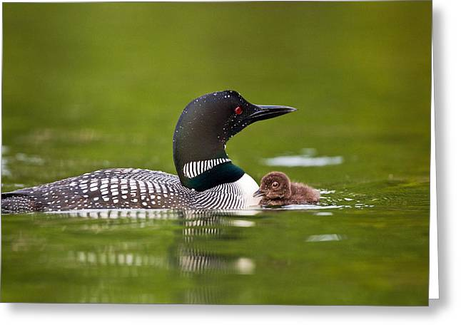 Loon and Chick Greeting Card by Brandon Broderick