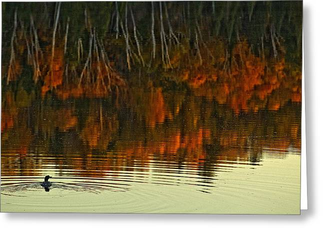 Loon In Opeongo Lake With Reflection Greeting Card by Robert Postma