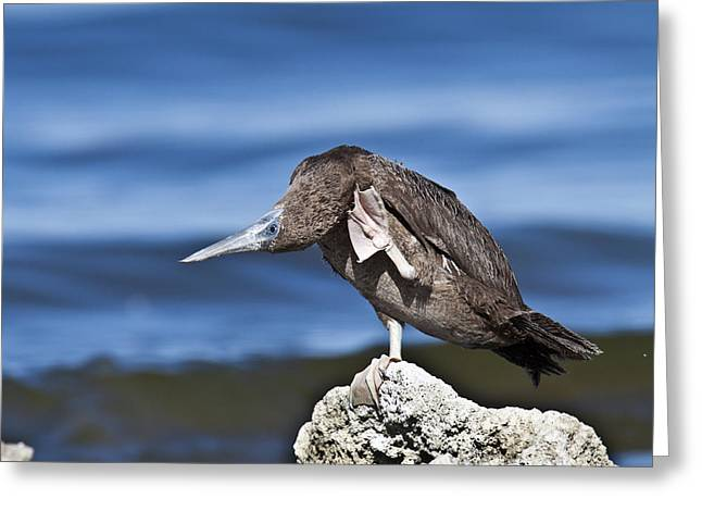 Brown Booby Greeting Cards - Lost Greeting Card by John Terry