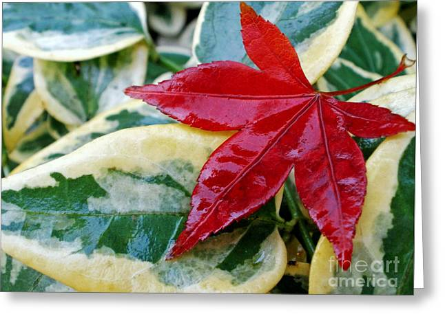 Red Leaves Greeting Cards - Lost Maple Leaf Greeting Card by Kaye Menner