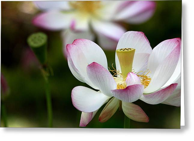 Lotus Full Bloom Greeting Cards - Lotus 2 Greeting Card by Rima Geleziunas