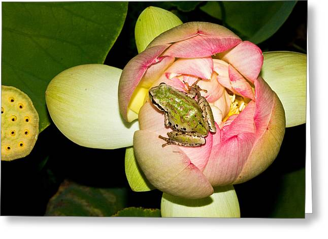 Jean Noren Greeting Cards - Lotus and frog Greeting Card by Jean Noren