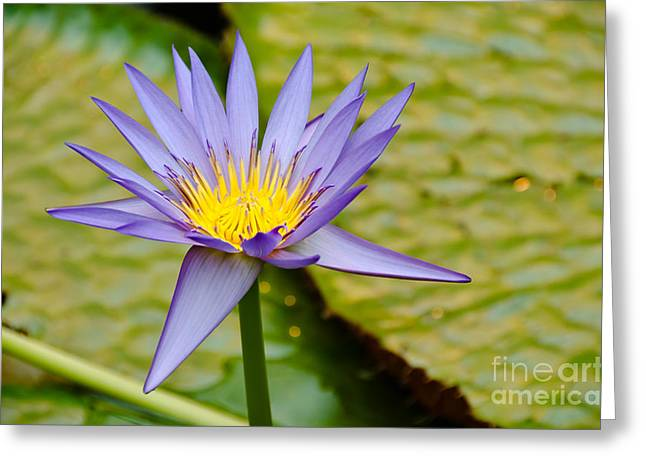 Sardinelly Greeting Cards - Lotus Flower Greeting Card by Yurix Sardinelly