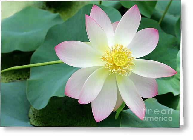Water Garden Greeting Cards - Lotus on the Right Greeting Card by Sabrina L Ryan