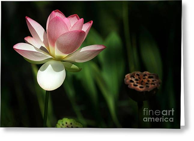 Florida Flowers Greeting Cards - Lotus Opening to the Sun Greeting Card by Sabrina L Ryan
