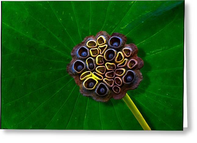 Lotus Seed Pod Greeting Cards - Lotus Pod Greeting Card by Chris Lord