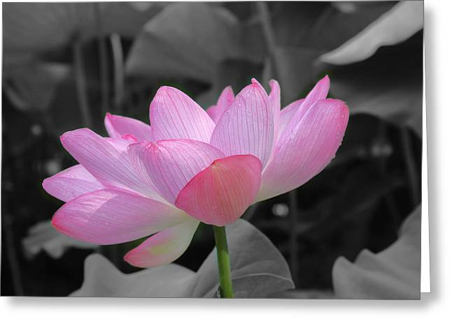 Carolyn Stagger Cokley Greeting Cards - Lotus Splash Greeting Card by Carolyn Stagger Cokley