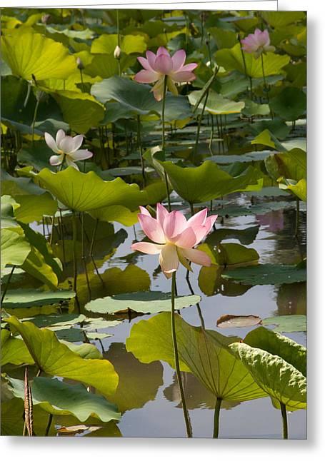 Lotus Standing Tall Greeting Card by Dina Calvarese