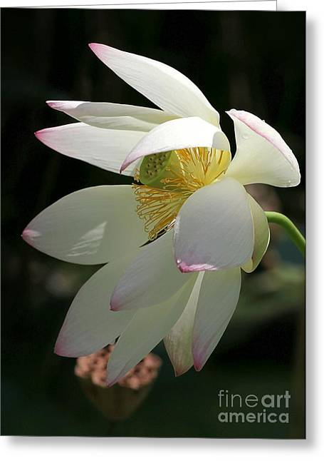 Water Garden Greeting Cards - Lotus Under Cover Greeting Card by Sabrina L Ryan