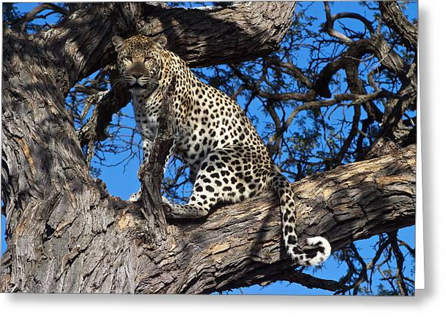 Lounging Leopard Namibia Greeting Card by David Kleinsasser
