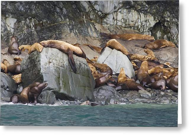 Sea Lions Greeting Cards - Lounging Sea Lions Greeting Card by Tim Grams
