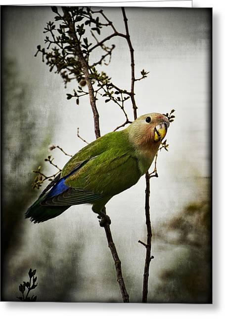 Peach Faced Lovebird Bird Greeting Cards - Lovebird  Greeting Card by Saija  Lehtonen