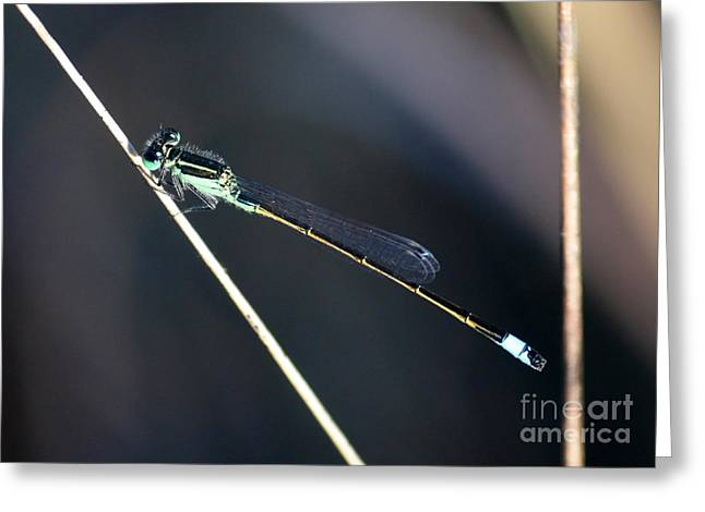 Damselfly Greeting Cards - Lovely Damselfly Greeting Card by Carol Groenen