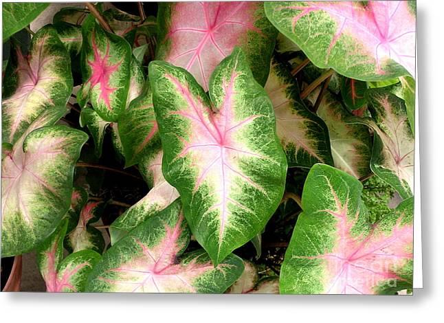 Calladiums Greeting Cards - Lovely Leaves Greeting Card by Byron Varvarigos