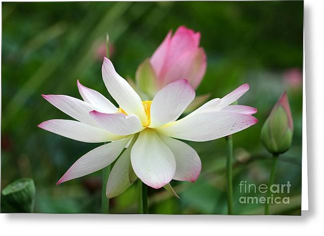 Lotus Bud Greeting Cards - Lovely Lotus Garden Greeting Card by Sabrina L Ryan
