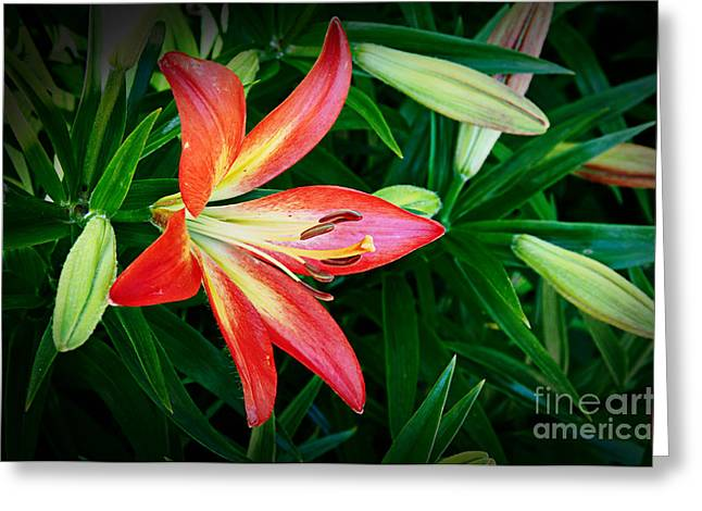 Lilli Greeting Cards - Lovely Red Lilly Greeting Card by Andee Design