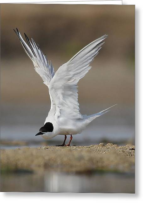 Tern Greeting Cards - Lovely Tern  Greeting Card by Mona Pirih