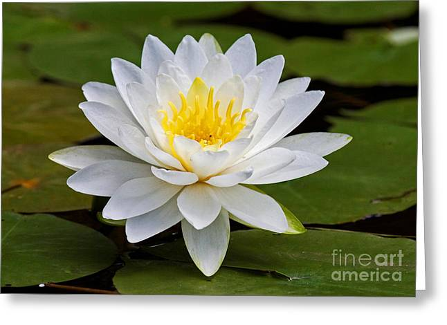 Lilly Pad Greeting Cards - Loving the Sun Greeting Card by Lloyd Alexander
