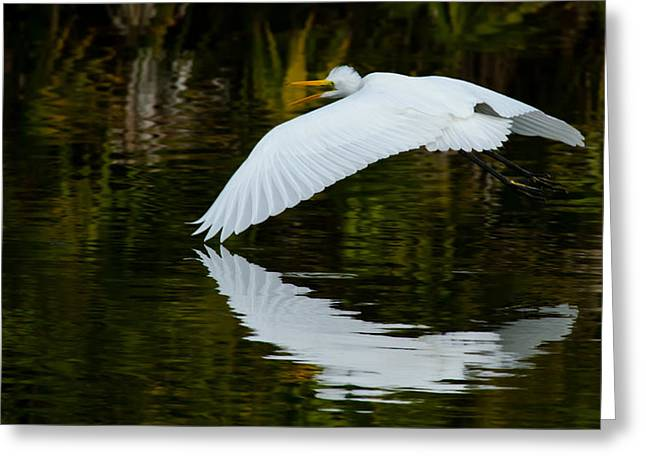 Low Flying Reflection Of Snowy Egret Greeting Card by Andres Leon